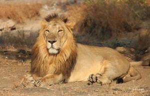 Asiatic-lion